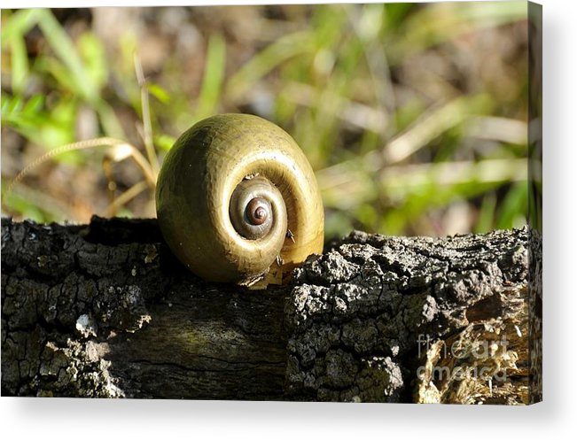 Snail Acrylic Print featuring the photograph Snail by David Lee Thompson