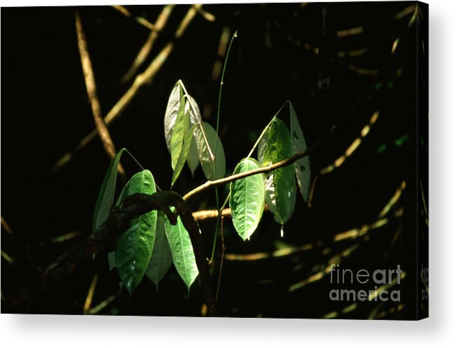 Leaves Acrylic Print featuring the photograph Sunlit Leaves by Kathy McClure