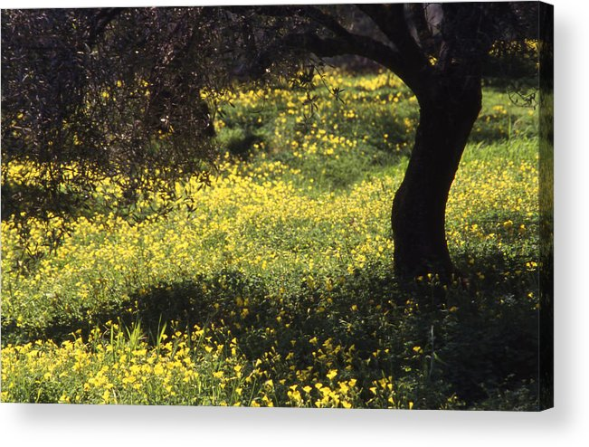 Nature Acrylic Print featuring the photograph Wild Flowers In An Olive Grove by Steve Outram
