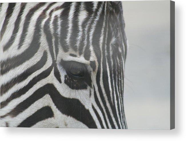 Zebra Acrylic Print featuring the photograph Zebra by Rob Cruise