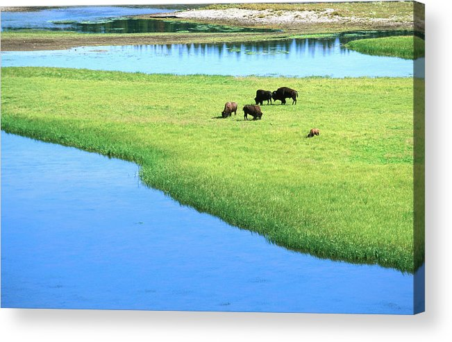 Grass Acrylic Print featuring the photograph American Bison Bison Bison Grazing In by David Tomlinson