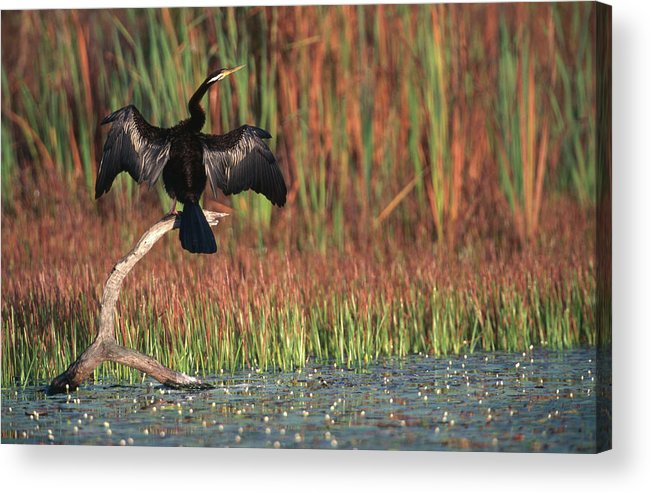 Darter Male Spreading His Wings To Acrylic Print