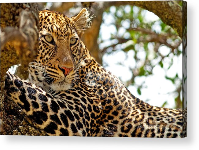 Camping Acrylic Print featuring the photograph Wild Leopard Lying In Wait Atop A Tree by Travel Stock