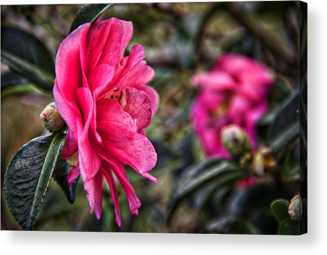 Flower Acrylic Print featuring the photograph Camellia De Mamie by Alice Gipson