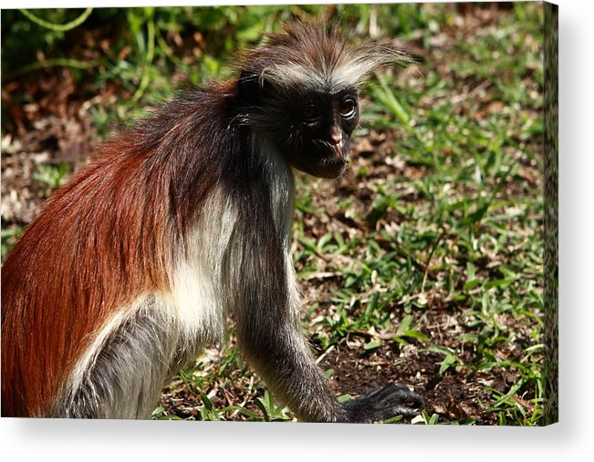 Red Colobus Monkey Acrylic Print featuring the photograph Colobus Monkey by Aidan Moran