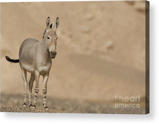 African Wild Ass Acrylic Print featuring the photograph African Wild Ass Equus Africanus by Eyal Bartov