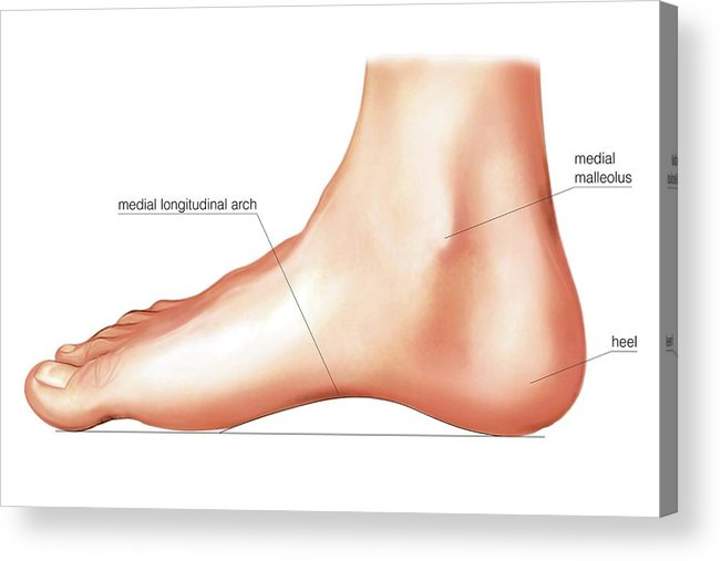 Anatomy Regions Of The Right Foot Acrylic Print by Asklepios Medical ...