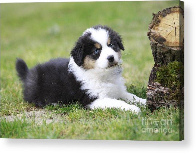 Australian Sheepdog Acrylic Print featuring the photograph Australian Shepherd Puppy by Jean-Michel Labat