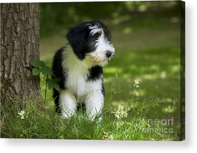 Bearded Collie Acrylic Print featuring the photograph Bearded Collie Puppy by John Daniels
