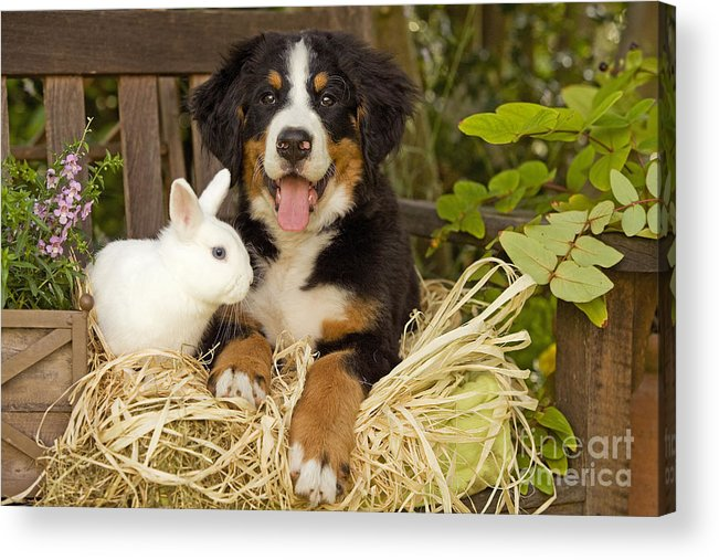 Bernese Mountain Dog Acrylic Print featuring the photograph Bernese Mountain Puppy And Rabbit by Jean-Michel Labat
