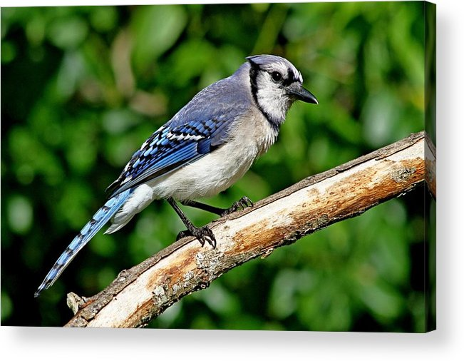 Animal Acrylic Print featuring the photograph Blue Jay by Ira Runyan