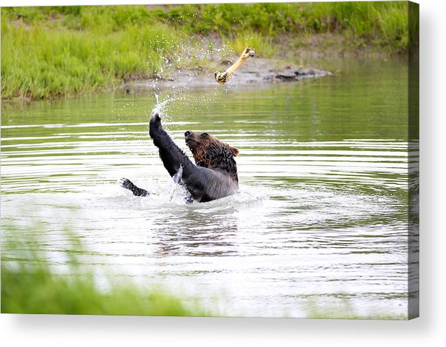 Animal Acrylic Print featuring the photograph Brown Bear Playing With A Bone by Paul Fell