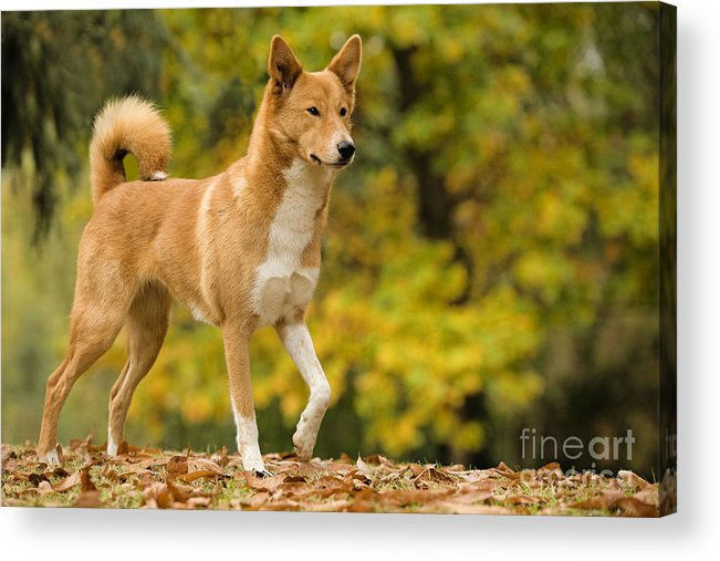 Canaan Dog Acrylic Print featuring the photograph Canaan Dog by Jean-Michel Labat