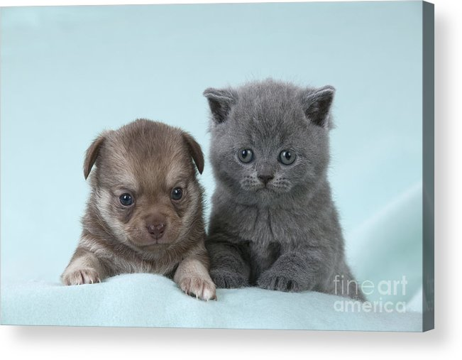 Cat Acrylic Print featuring the photograph Chihuahua Puppy And British Shorthair by John Daniels