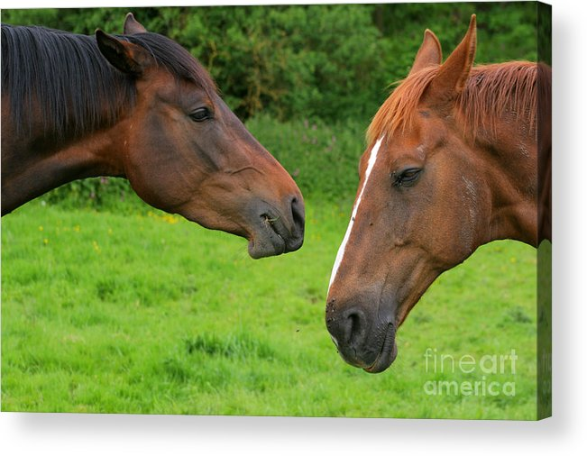 Horse Acrylic Print featuring the photograph Conversations by Angel Ciesniarska