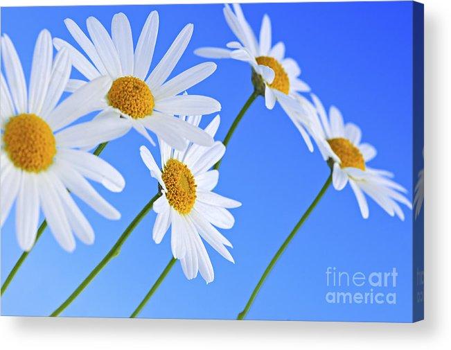 Daisy Acrylic Print featuring the photograph Daisy Flowers On Blue Background by Elena Elisseeva