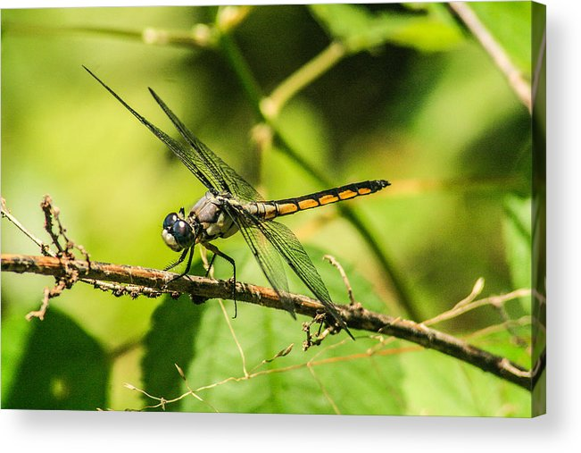 Dragonflies Acrylic Print featuring the photograph Dragonfly by Steven Taylor