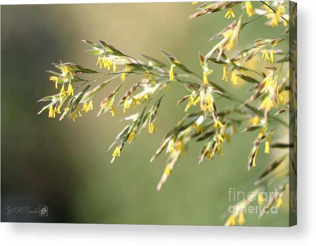 Mccombie Acrylic Print featuring the photograph Flowering Brome Grass by J McCombie