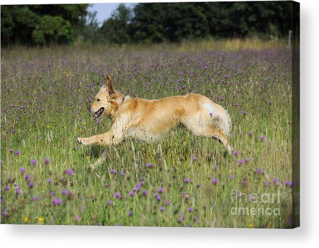 Golden Retriever Acrylic Print featuring the photograph Golden Retriever Running by John Daniels