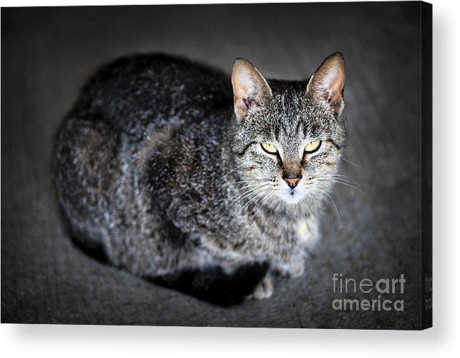 Cat Acrylic Print featuring the photograph Grey Cat Portrait by Elena Elisseeva