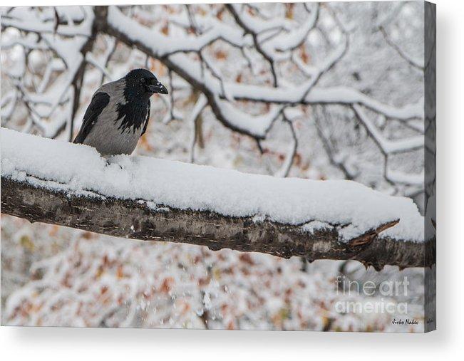 Corvus Cornix Acrylic Print featuring the photograph Hooded Crow First Snow by Jivko Nakev