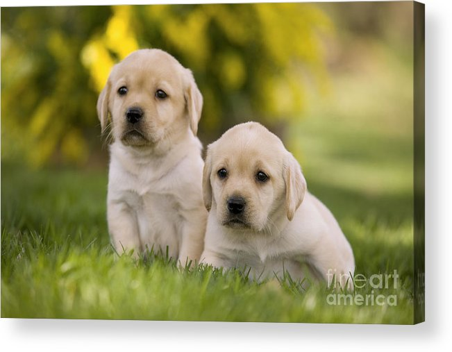 Labrador Retriever Acrylic Print featuring the photograph Labrador Puppies by Jean-Michel Labat