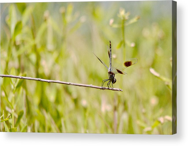 Roy Williams Acrylic Print featuring the photograph Out On A Twig by Roy Williams
