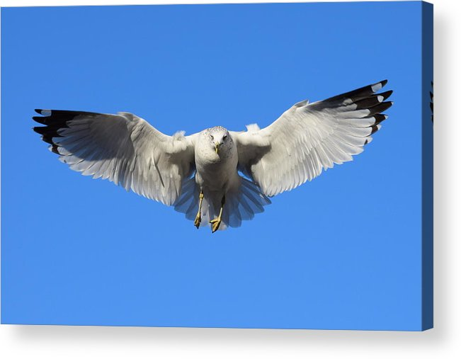 Seagull Acrylic Print featuring the photograph Seagull In Flight by Eric Johansen