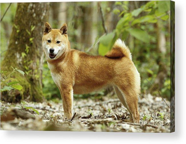 Shiba Inu Acrylic Print featuring the photograph Shiba Inu Dog by Jean-Michel Labat