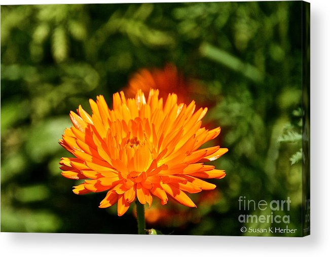 Flower Acrylic Print featuring the photograph Spring Fresh by Susan Herber