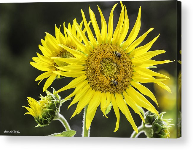 Bees Acrylic Print featuring the photograph Sunflowers by Fran Gallogly