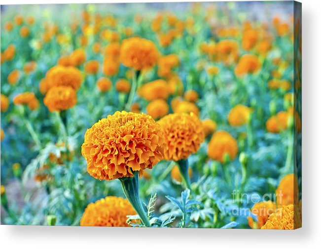 Tagetes Erecta Acrylic Print featuring the photograph Tagetes Erecta / Aztec Marigold Flower by Image World