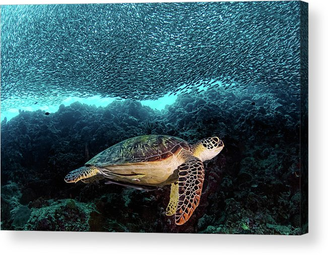Turtle Acrylic Print featuring the photograph Turtle And Sardines by Henry Jager