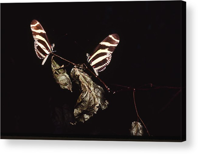 Home Decor Acrylic Print featuring the photograph Twin Butterflies by Jeff Leland