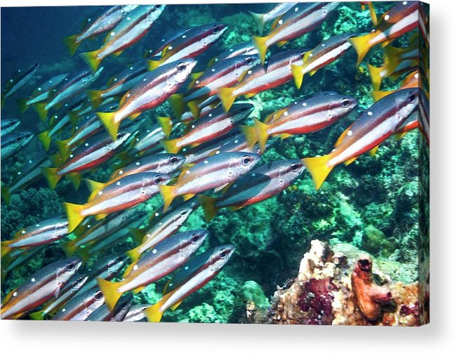 Two-spot Banded Snapper Acrylic Print featuring the photograph Two-spot Banded Snappers by Georgette Douwma
