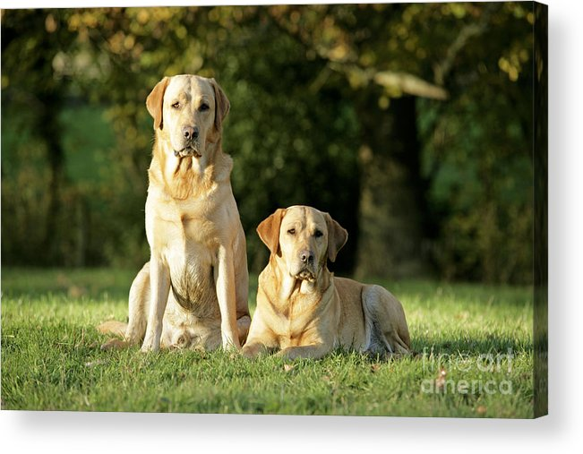 Dogs Acrylic Print featuring the photograph Yellow Labrador Retrievers by John Daniels