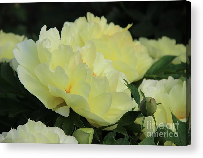 Yellow Peonies Acrylic Print featuring the photograph Yellow Peonies 1 by Rod Ismay