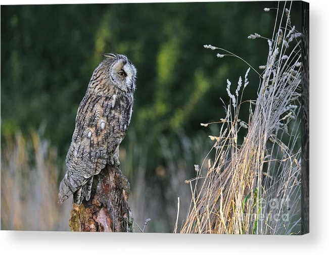 Long-eared Owl Acrylic Print featuring the photograph 100205p264 by Arterra Picture Library