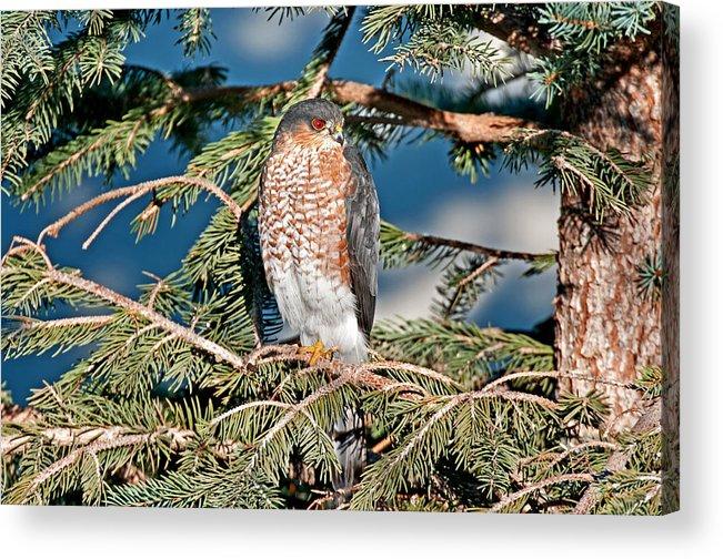Sharp Shinned Hawk Acrylic Print featuring the photograph Hawk by Elijah Weber