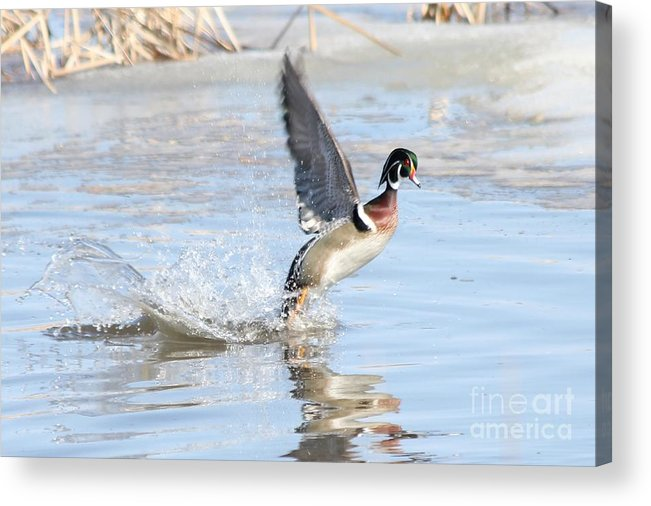 Wood Duck Acrylic Print featuring the photograph Wood Duck by Lori Tordsen