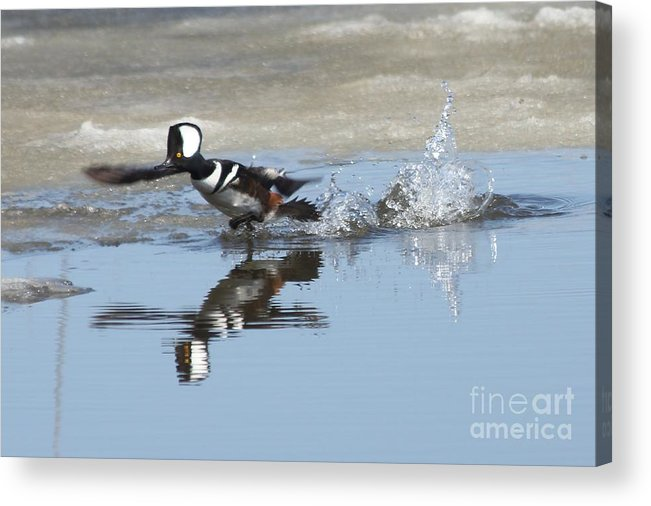 Hodded Acrylic Print featuring the photograph Hooded Merganser by Lori Tordsen
