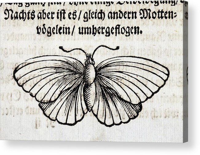 17th Acrylic Print featuring the photograph 1683 Maria Merian Black Veined White by Paul D Stewart