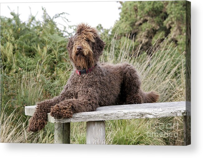 Labradoodle Acrylic Print featuring the photograph Brown Labradoodle by John Daniels