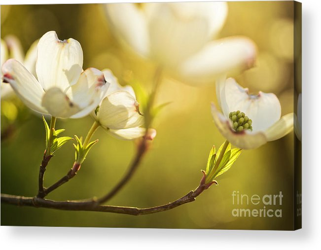 Spring Acrylic Print featuring the photograph Dogwood Dreams by Thomas R Fletcher