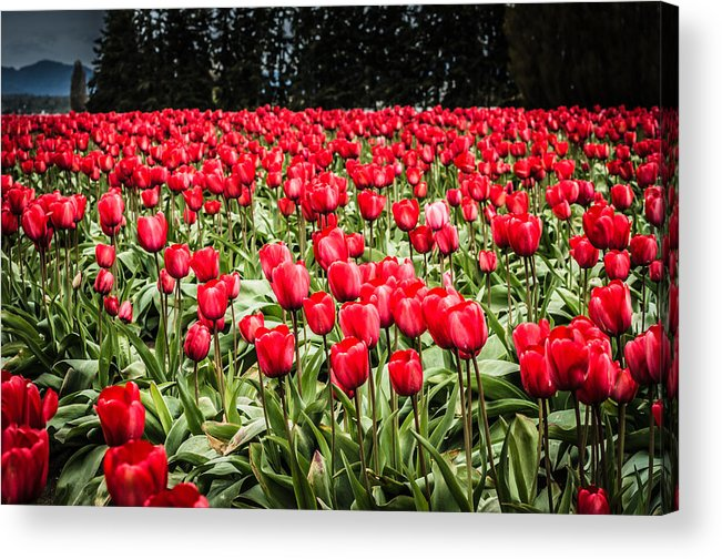 Washington Acrylic Print featuring the photograph Red Tulips by Puget Exposure