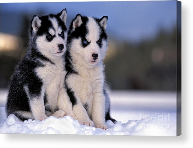 Siberian Husky Acrylic Print featuring the photograph Siberian Husky Puppies by Rolf Kopfle
