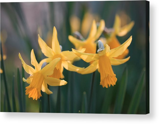 Daffodils Acrylic Print featuring the photograph Spring Sunshine by Shirley Mitchell