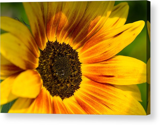Sommer Acrylic Print featuring the pyrography Sunflower by Steffen Gierok