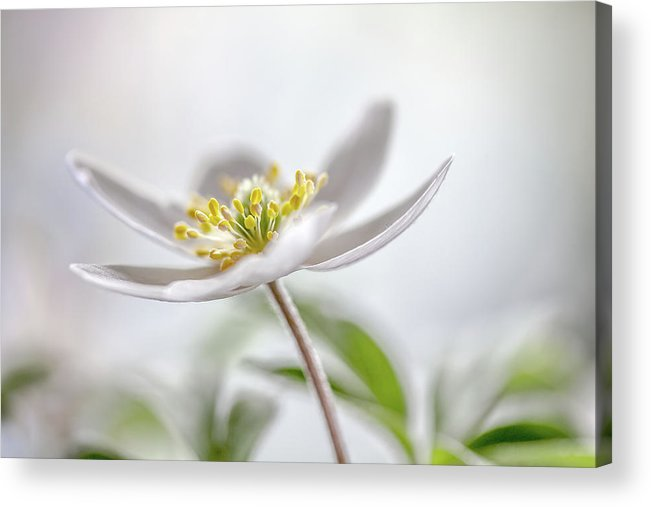 Macro Acrylic Print featuring the photograph Wood Anemone by Mandy Disher