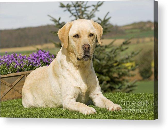 Labrador Retriever Acrylic Print featuring the photograph Yellow Labrador by Jean-Michel Labat